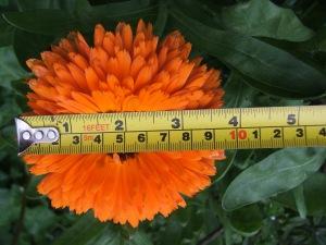 The large Pot Marigold flower.