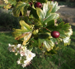 Glastonbury Thorn flowering during late summer