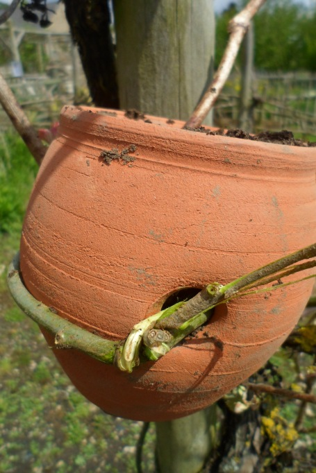 The pot filled with soil and bound to the vine post using a willow withy.