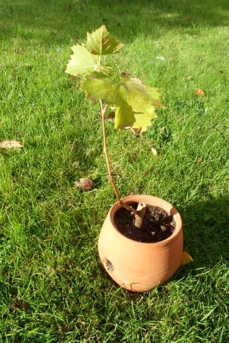The new vine plant ready for growing on or planting.