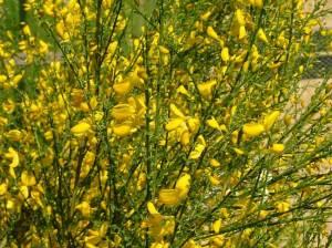 Broom, Planta genista
