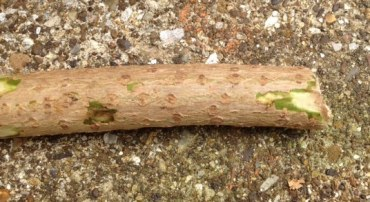 Elder stick
